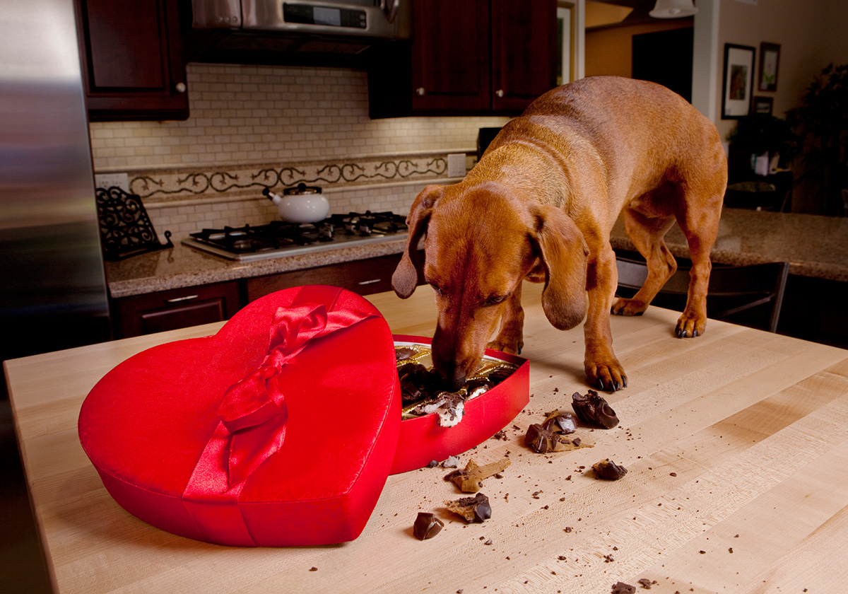 Don't ever let your dog eat chocolate